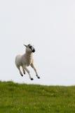 lambs som hoppar fjädern Arkivfoton