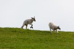 lambs som hoppar fjädern Royaltyfria Bilder