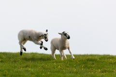 lambs som hoppar fjädern Royaltyfri Bild