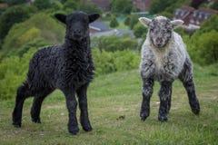 Lambs in Spring stock photos