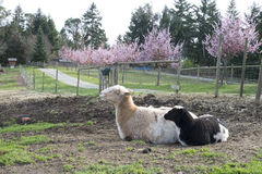 Lambs in spring Royalty Free Stock Photos