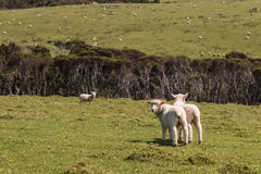 Lambs on spring meadow Stock Images