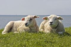 Lambs in springtime. Lambs lying on the dyke in springtime in the Netherlands Royalty Free Stock Photography