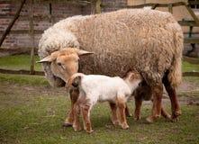 lambs springtime Royaltyfria Bilder