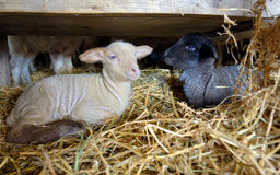 Lambs in a stable Royalty Free Stock Photography