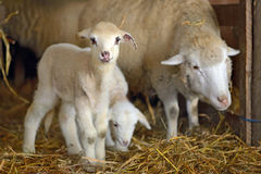 Lambs in a stable Stock Photo