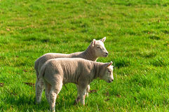 2 lambs standing in grass meadow in spring Stock Photos