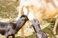 Lambs sucking. Sheep with two lambs sucking Stock Photo