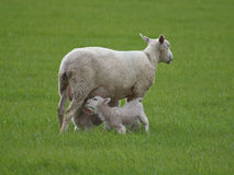 Lambs Suckling. Two young lambs feeding from mother stock image