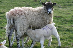Lambs suckling from mother Royalty Free Stock Image