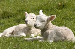 lambs två Arkivbilder