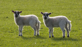 lambs två royaltyfria bilder
