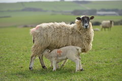 Lambs. Twin spring lambs with their mother ewe royalty free stock image