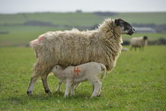 Lambs. Twin spring lambs with their mother ewe royalty free stock images