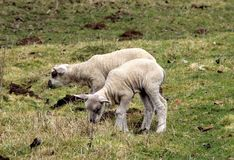 Lambs, two lambs graze in their field in summer stock photo