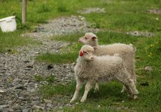 Lambs Stock Photography