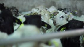 Lambs unloaded from the truck to the farm stock footage