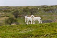 Lambs on a Welsh Mountain. A pair of Welsh mountain sheep lambs on a wild and rugged mountainous pasture in rural Bala North Wales Royalty Free Stock Photography