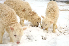 Lambs. Winter on the farm. Flock of sheep skudde and horse haflinger eat the hay meadow covered with snow. Winter on the farm Stock Photos