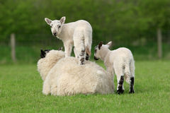 lambsfjäder Royaltyfri Fotografi