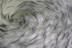 Lambskin - fur background with a vortex pattern Stock Photo