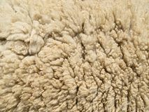 Lambswool texture. Lambswool on live lamb or sheep Royalty Free Stock Photography
