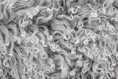Lambswool texture, background close up. Soft sheep wool with curls Stock Photos