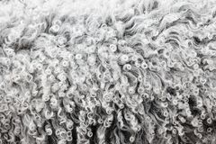 Lambswool texture, background close up. Soft sheep wool with curls Stock Image