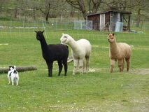 Lame - alpaca fotografia stock libera da diritti