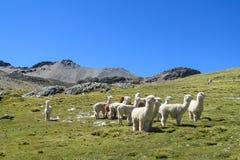 Lame bianche su erba verde in valle della montagna Immagini Stock Libere da Diritti