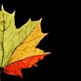 Lame d'érable affichant différentes saisons par des couleurs Photo stock