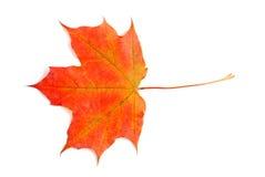 Lame d'érable colorée par automne Photo libre de droits