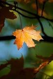 Lame d'érable d'automne Image libre de droits
