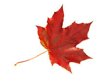 Lame d'érable d'automne Photos libres de droits