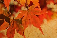 Lame d'érable d'automne images stock