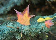 Lame d'érable d'automne photo libre de droits