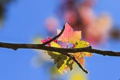Lame d'érable en automne Photo libre de droits