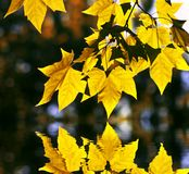 Lame d'érable jaune du Canada avec la réflexion de l'eau Photo libre de droits