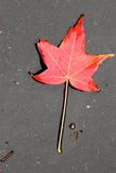 Lame d'érable rouge Photographie stock libre de droits