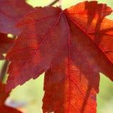 Lame d'érable rouge Image libre de droits