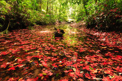 Lame d'érable rouge pendant l'automne Photos libres de droits