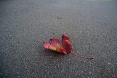 Lame d'érable sur l'asphalte Photo stock