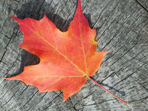 Lame d'érable sur le bois Photo libre de droits