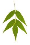 Lame d'arbre de cendre sur d'isolement Image stock