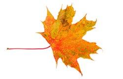 Lame d'automne d'érable Lame colorée d'automne d'isolement sur le blanc Photo libre de droits