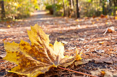 Lame d'automne d'érable sur la route Photographie stock libre de droits