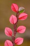 Lame d'automne de rouge et de vert Photos libres de droits