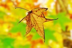 Lame d'automne tombant de l'arbre d'érable Image stock