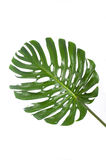 Lame d'un grand monstera dans le blanc Images libres de droits