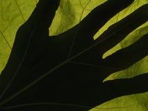 Lame de Catalpa éclairée à contre-jour avec l'ombre de main Images stock